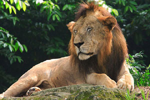 Singapore Mandai Zoo Lion
