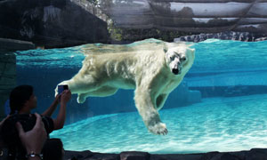 Singapore Zoo Polar Bear